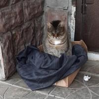 Найден кот\кошка, окрас камышовый с белой грудкой