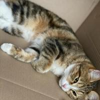 Пропала кошка, порода курильский бобтейл