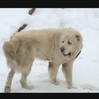 Потерялся пес, порода алабай, окрас белый