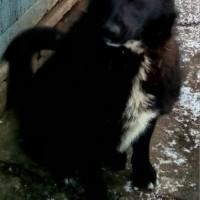 В добрые руки, пёс, окрас черный с белой грудкой