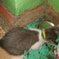 Найден котенок, окрас серо-белый