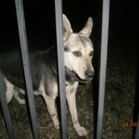 Найдена собака, окрас черно-коричневый, белая мордочка