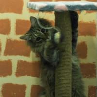 В добрые руки, кот, окрас камышовый