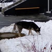 Найден пёс, порода хаски, окрас черно-белый