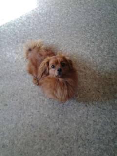 Найдена собака, окрас рыжий. пушистая
