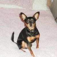 Потерялся пес, порода той-терьер, окрас черно-коричневый