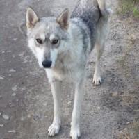 Найдена собака, окрас серо-белый