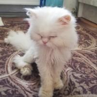 Найден кот, порода перс, окрас белый