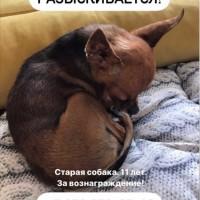 Потерялся пес, порода русский той-терьер, окрас рыжий