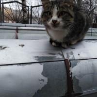 Найдена кошка, окрас камышовый с белыми пятнами