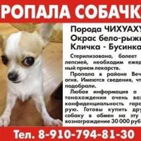 Пропала собака, порода чихуахуа, окрас бело-рыжий