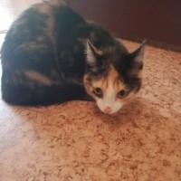 Найден котенок, окрас трехцветный