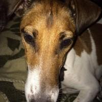 Пропала собака, порода гладкошерстный фокстерьер, окрас черно-коричневый