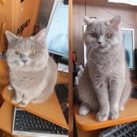 Потерялась кошка, порода британская, окрас серый