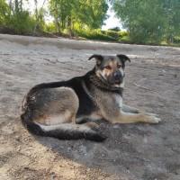 Найден пёс, окрас трехцветный