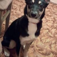 Найдена собака, окрас черно-белый