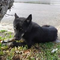 Найден пес, окрас черный, с ошейником