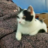 В добрые руки, котенок, окрас белый с черными пятнами