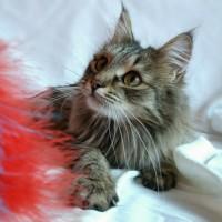 В добрые руки, котик, окрас камышовый, пушистый