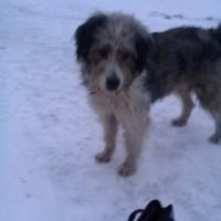 Найден пёс, окрас серо-белый