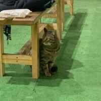 Найден кот, окрас камышовый