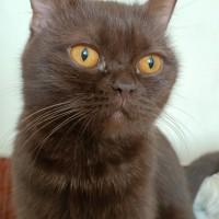 Пропал кот, порода шотландская, окрас шоколадный