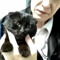 Найдена кошка, окрас черный, вислоухая