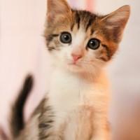 В добрые руки, котенок, окрас серо-белый с рыжицой