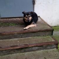 Найдена собака, окрас черно-белый, с ошейником