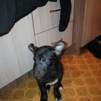 Найдена собака, окрас черный с белыми пятнами