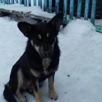 В добрые руки, собака, окрас черно-коричневый
