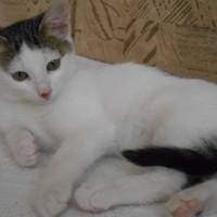 В добрые руки, котенок, окрас бело-серый