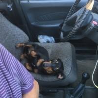 Найдена собака, порода такса, окрас черно-коричневый