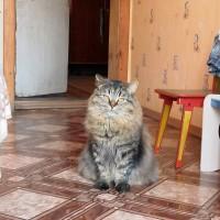 Потерялся кот, окрас серый с рыжицой, пушистый