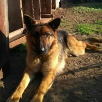 Пропала собака, порода немецкая овчарка