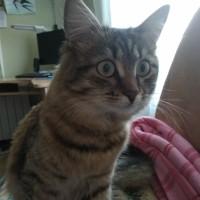 Пропала кошка, окрас камышовый