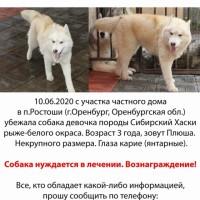 Убежала собака, порода сибирский хаски, окрас рыже-белый