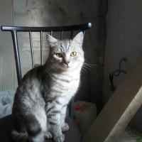 В добрые руки, кот, окрас серый, полосатый
