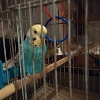 Найден волнистый попугай, окрас бело-голубой