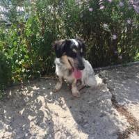Найден пес, порода помесь таксы и спаниеля