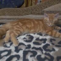 Пропал кот, порода мейн-кун, окрас рыжий мрамор