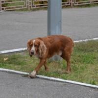 Найден пес, порода спаниель, окрас коричневый с белыми пятнами