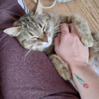 В добрые руки, кошка, окрас камышовый