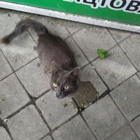 Найден кот\кошка, окрас дымчатый