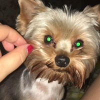 Пропала собака, порода йоркширский терьер