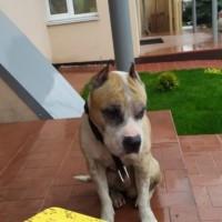 Найден пес, окрас коричнево-белый