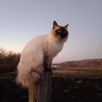 Пропал кот, порода невская-маскарадная