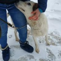 В добрые руки, пёс. окрас белый с коричневыми пятнами