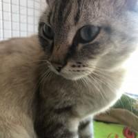 Найден кот, окрас серый