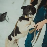 В добрые руки, собака, окрас черно-белый